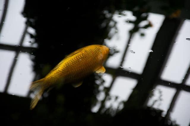 Hivernage du bassin avec les poissons : guide complet