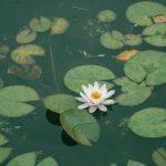 Quel est le nombre de plantes oxygénantes à avoir pour mon bassin ?