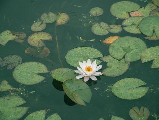 Combien de plantes oxygénantes dans un bassin ?