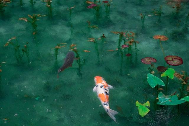 Comment nettoyer un bassin à poissons ?